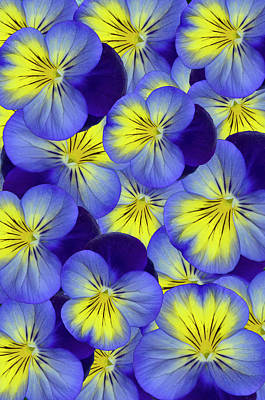 Photograph - Dandy Pansies Verical by Ann Bridges