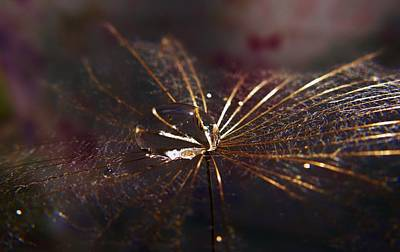 Photograph - Dandy Seed Pod In Gold by Barbara St Jean