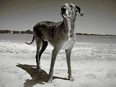 Seagram Photograph - Dane Of Greatness by Julia Raddatz