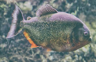 Piranha Photograph - Danger Piranha On The Loose by Martin Newman