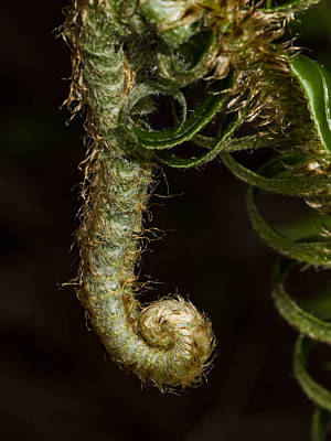 Photograph - Dangling Fiddle Head by Jean Noren