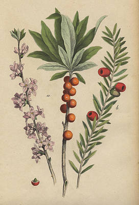 Daphne And Yew Print by German Botanical Artist