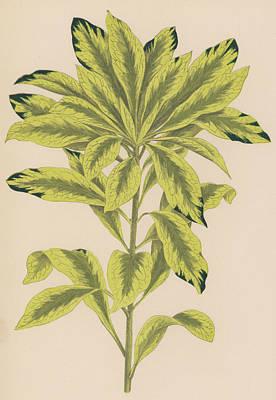 Botanical Drawing - Daphne Mazereon Variegata by English School