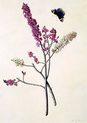 Beautiful Butterfly Drawing - Daphne Mezereum With Butterfly by Georg Dionysius Ehret