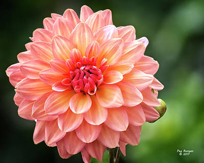 Photograph - Dapper Dahlia by Peg Runyan