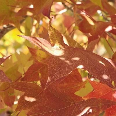 Dappled Light Photograph - Dappled Light On Autumn Leaves by Kathy Franklin