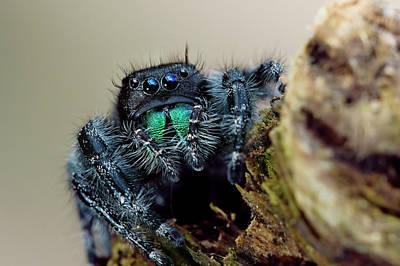 Daring Jumping Spider Art Print