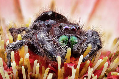 Photograph - Daring Spider On Gerber by Jerry Fornarotto