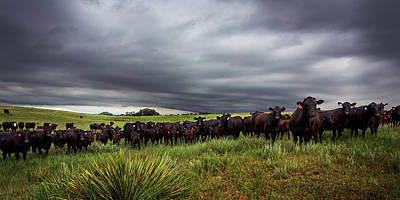Prairie Photograph - Dark Angus by Thomas Zimmerman