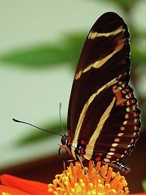 Photograph - Dark Brown Butterfly by Karen McKenzie McAdoo