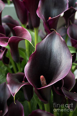 Photograph - Dark Calla Lily by Ana Mireles
