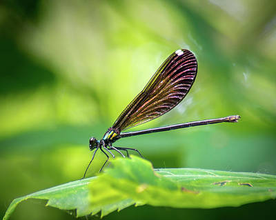 Photograph - Dark Damsel by Bill Pevlor