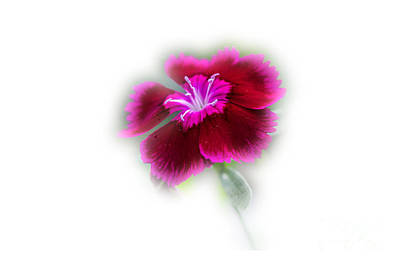 Photograph - Dark Fuschia Dianthus by Donna Brown