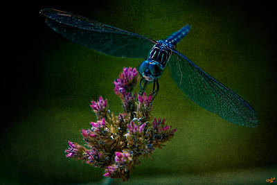 Photograph - Dark Dragonfly by Chris Lord