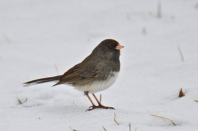 Photograph - Dark-eyed Junco 1217 by Michael Peychich