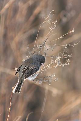 Photograph - Dark Eyed Junco 3 by David Dunham