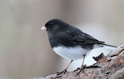 Photograph - Dark-eyed Junco by Diane Giurco