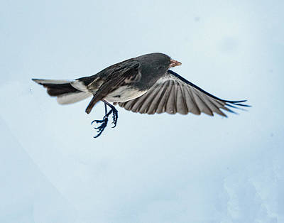 Dark-eyed Junco Flying Art Print