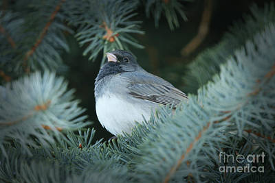 Photograph - Dark Eyed Junco In The Evergreen Tree by Alyce Taylor