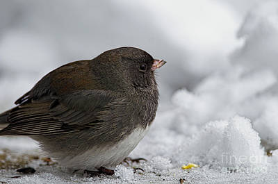 Photograph - Dark Eyed Junco In The Snow by Sharon Talson