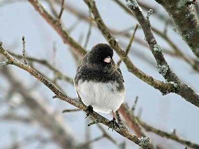 Photograph - Dark Eyed Junco In The Winter by Jackson Pearson