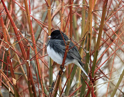 Photograph - Dark Eyed Junco by Jackson Pearson