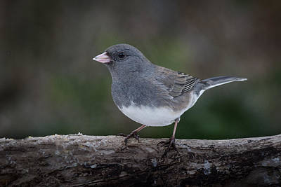 Photograph - Dark Eyed Junco by Kenneth Cole