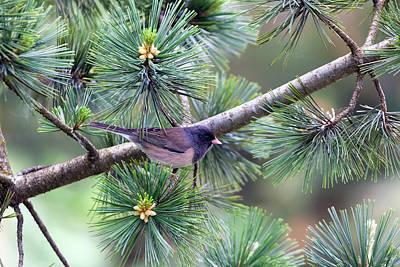 Dark-eyed Junco On A Pine Tree Art Print by David Gn