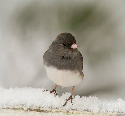 Photograph - Dark-eyed Junco - Winter Birds by Kerri Farley