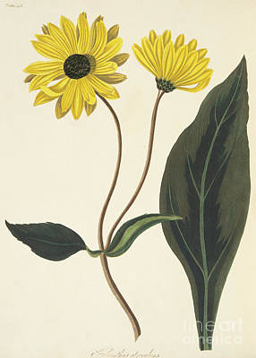 Dark Eyed Sunflower Art Print by Margaret Roscoe