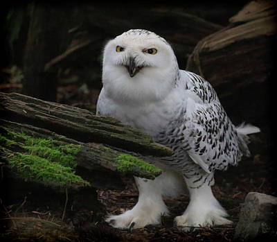 Photograph - Dark Forest Snowy Owl by Steve McKinzie