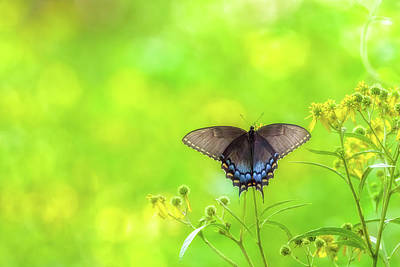 Art Print featuring the photograph Dark Morph Female Tiger Swallowtail Butterfly by Lori Coleman