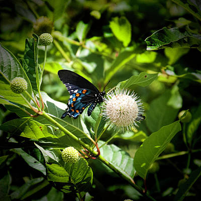 Dark Morph Of The Eastern Tiger Swallowtail Butterfly Art Print