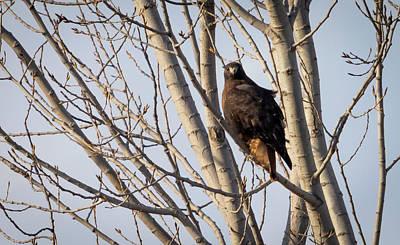 Photograph - Dark-morph Western Red-tailed Hawks by Ricky L Jones