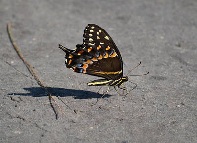 Photograph - Dark Phase Eastern Tiger Swallowtail Butterfly by rd Erickson