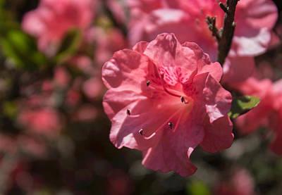 Photograph - Dark Pink Azalea by Arlene Carmel