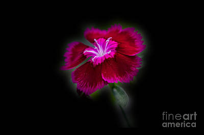 Photograph - Dark Pink Dianthus by Donna Brown