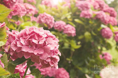 Dark Pink Hydrangea Art Print by Cindy Garber Iverson