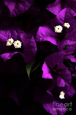 Bougainvilleas Photograph - Dark Purple Bougainvillea Flowers by Jorgo Photography - Wall Art Gallery