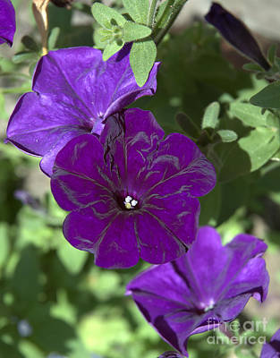 Dark Purple Petunias Art Print