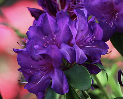 Photograph - Dark Purple Rhododendrons by Jeanette C Landstrom