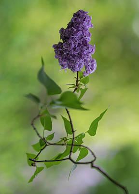 Photograph - Dark Violet Lilac by Jaroslaw Blaminsky