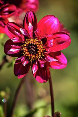 Photograph - Darling Dahlia by Belinda Greb