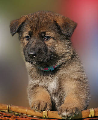 Photograph - Darling Puppy by Sandy Keeton