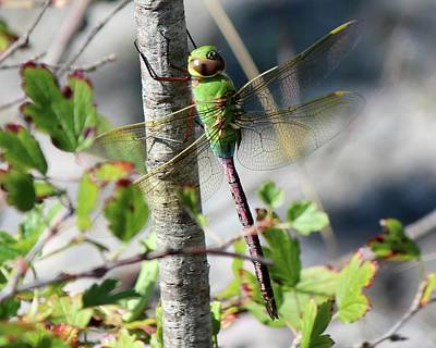 Photograph - Darner by David Pickett