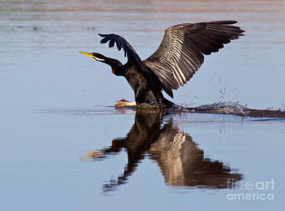 Photograph - Darter Landing by Bill Robinson