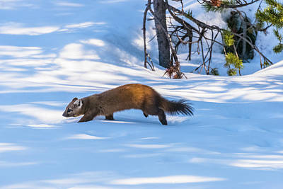 Photograph - Darting Through Deep Snow by Yeates Photography
