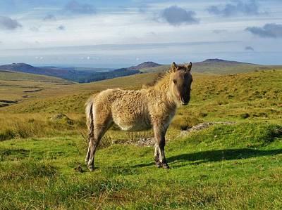 Photograph - Dartmoor Pony Foal On Moor Near Princetown Devon by Richard Brookes
