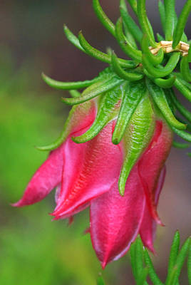 Photograph - Darwinia Oxylepis 1a by Tony Brown