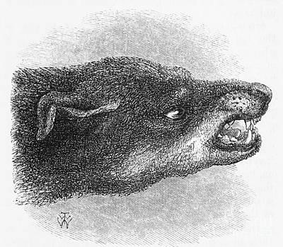 Darwins Snarling Dog, Illustration, 1872 Art Print